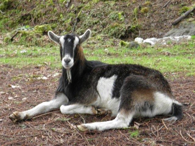 Eeyore the Goat, 2014