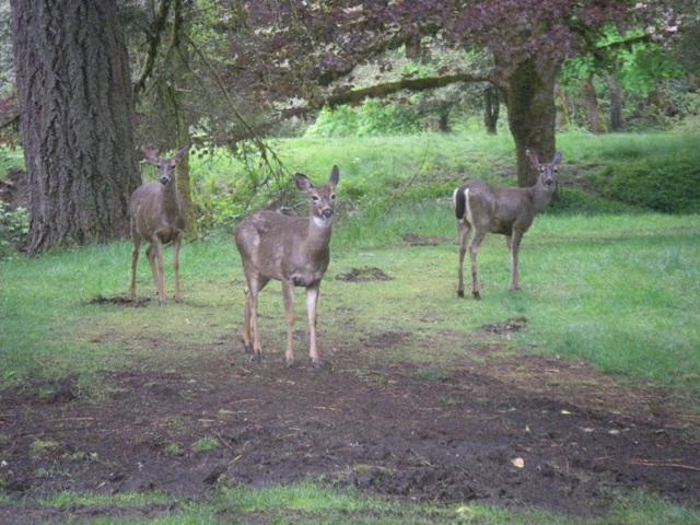 Deer, May 2010